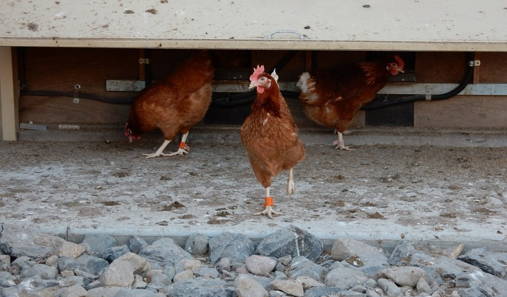 Wearable technologies: driving improvements in chicken welfare?