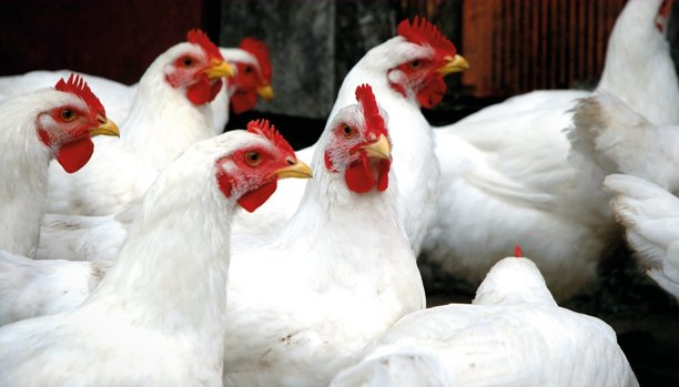achieving sustainable production of poultry meat