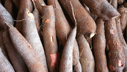 cassava, cassava research