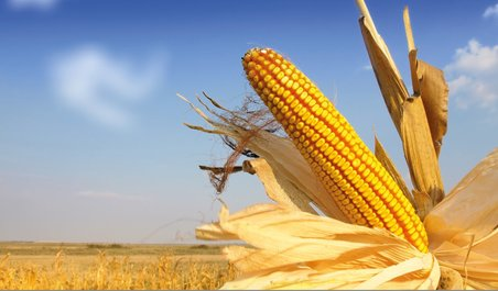 maize, gene editing, maize research