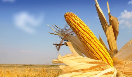 corn, corn research, maize, maize research