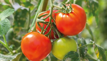 tomatoes, tomato research, genome, genome editing