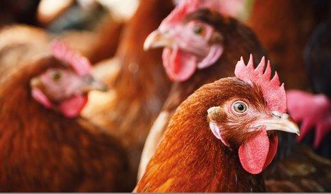 poultry, smart farms, smart farming
