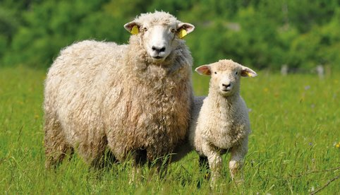 sheep, sheep research, sheep science