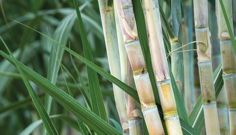 sugarcane, genetically modified crops, GM crops, GM sugarcane