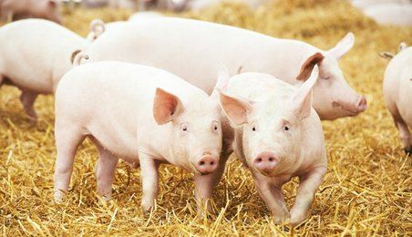 pig meat, pigs, pig disease, pig virus