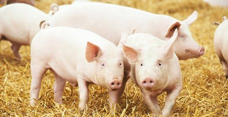 pigs, ASF, Burleigh, Dodds, publishing, crops, livestock