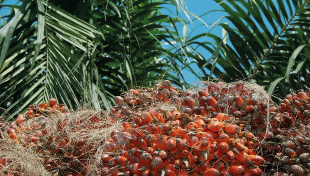 achieving sustainable cultivation of oil palm