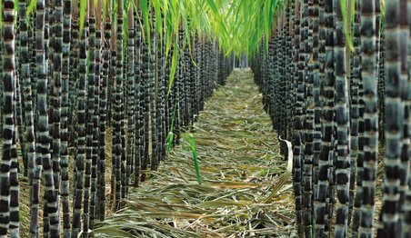 sugarcane, sugarcane research